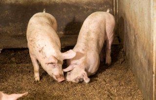 Met wroetende varkens energie opwekken