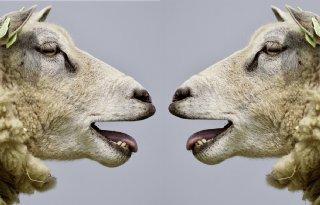 MKZ treft Chinese schapen