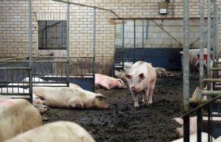Varkenssector+verlangt+steun+LNV+voor+blijvers