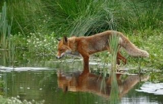 Friesland+breidt+vossenjacht+uit