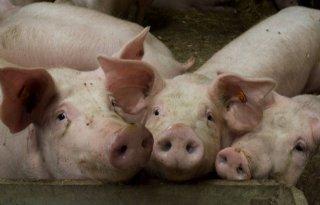 Hoge+varkenssaldo%27s+in+maart