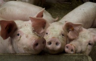 Varkensmarkt+schudt+op+grondvesten+na+Duitse+verlaging