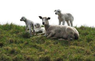 Dijkbegrazing+zorgt+voor+beroering+bij+schapenhouders