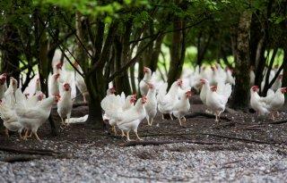 Kippen scharrelen meer fijnstof de lucht in