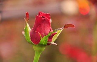 Bruinrot+vastgesteld+bij+rozenbedrijf