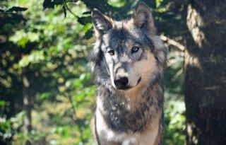 Wolf+voelt+zich+thuis+in+Drenthe