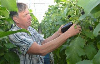 Van Luijk oogst aubergine met zorg