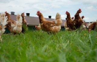 Sector 'gigantisch geschrokken' door uitbraak vogelgriep