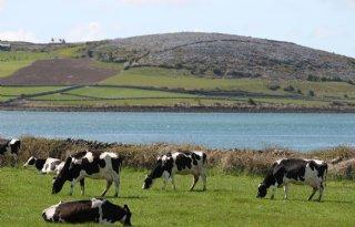 Ierse+veehouders+melken+tegen+de+klippen+op