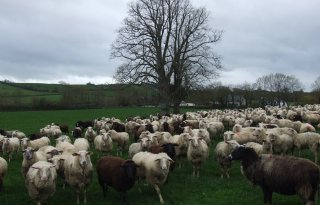 Ierse+broers+Crosse+laten+ijs+maken+van+schapenmelk