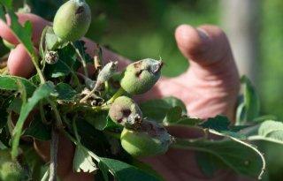 Hagel vernietigt appeloogst Limburgse telers