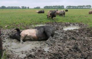 Voorlopig+geen+ophokplicht+varkens