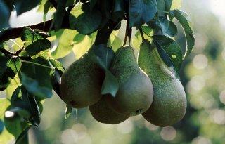 Provincies+vergoeden+mezenschade+in+fruit