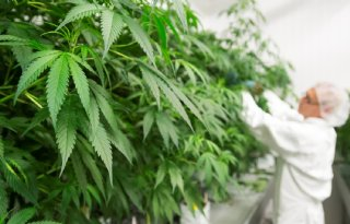Glasteelt+van+medicinale+cannabis+is+lastig