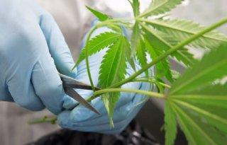 Glastuinbouw+Nederland+wil+legale+cannabisteelt