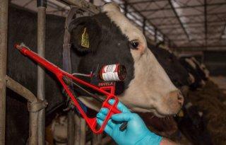 BVD+blijft+in+beeld+als+bedreiger+van+diergezondheid