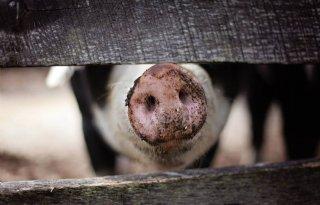Eerste+varkens+met+chip%2Doormerk+naar+slacht