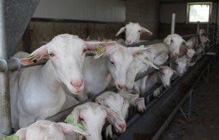 LTO wil snel in gesprek over geitenstop Noord-Holland