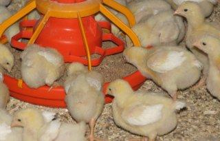Europa+pakt+Oekra%C3%AFense+kippenvleesexport+aan