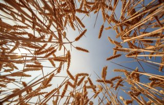 Gen-editing maakt tarwe geschikt voor coeliakiepatiënten