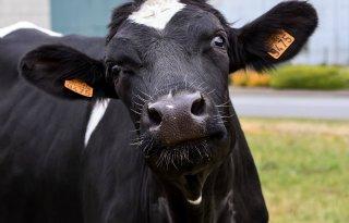 Bruscellose+treft+melkveebedrijf+Oostenrijk