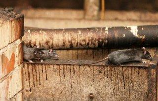 Meer+rattenvangers+nodig