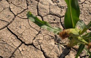 Veldproef+maisvari%C3%ABteiten+met+droogtetolerantie