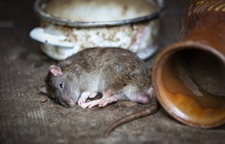 Slordig+mens+is+zegen+voor+rat+en+muis