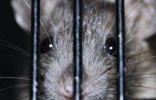 Rattenoverlast+blijft+toenemen