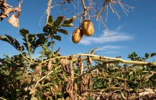 Belgische+aardappelsector+zoekt+oplossing+voor+aanvoer