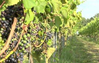 Druiventeler+verwacht+goed+wijnjaar