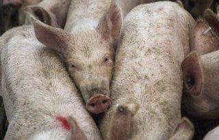 'Situatie in varkensrijkste land ter wereld is zorgelijk'