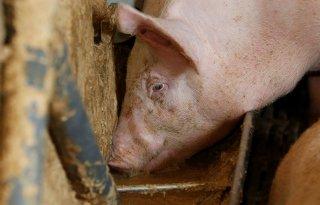 Groningen wil slot op intensieve veehouderij