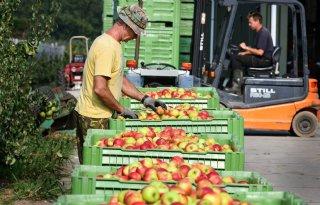 Veel kleine fruitmaten door droogte
