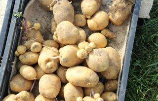 Zorg+over+doorwas+in+aardappelen