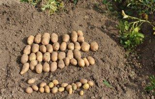 Termijnmarkt+aardappelen+stabiel+boven+30+euro