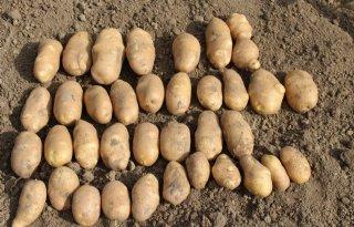 Aardappelopbrengsten 20 procent lager dan in 2017