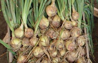 Groot+wortelstelsel+verbetert+droogtetolerantie+ui