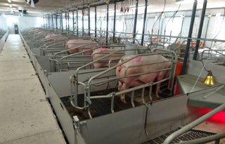 Schaalvergroting+varkens+effectiever+in+Denemarken