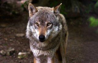 De+Hoge+Veluwe+kraakt+wolvenplan
