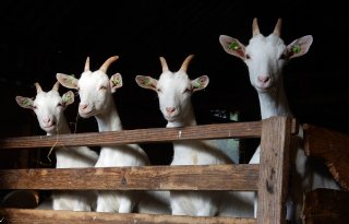 Sterkenburgh+vindt+geitenstop+in+Friesland+niet+nodig