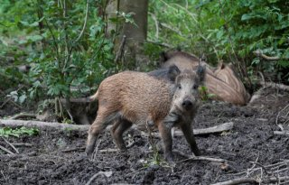 Afrikaanse+varkenspest+niet+erg+besmettelijk