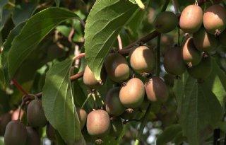 Prima oogst Drentse kiwibes