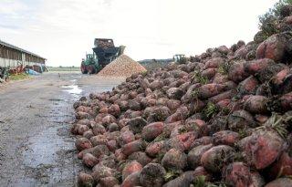 Areaal voederbieten stijgt 300 hectare