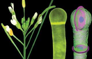 Onderzoekers+ontrafelen+celdeling+van+planten