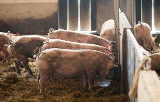 Ruim+baan+voor+varken+als+kringloopdier