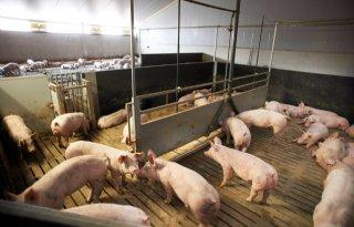 Vion+stuurt+varkens+aanbod+voor+Robusto+ham