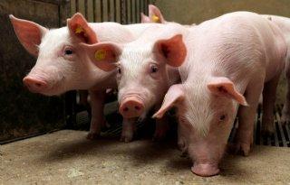 Helft+varkenshouders+steunt+krimp+veestapel