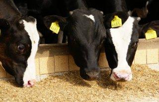 Weinig+vraag+naar+kalfsvlees+dreunt+door+in+sector