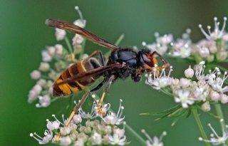 Twee nesten Aziatische hoornaar vernietigd